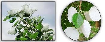 abedul-o-alamo-blanco