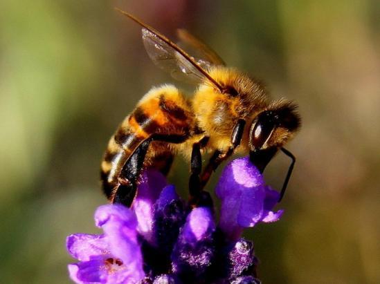 Stop al sida con toxina de abejas