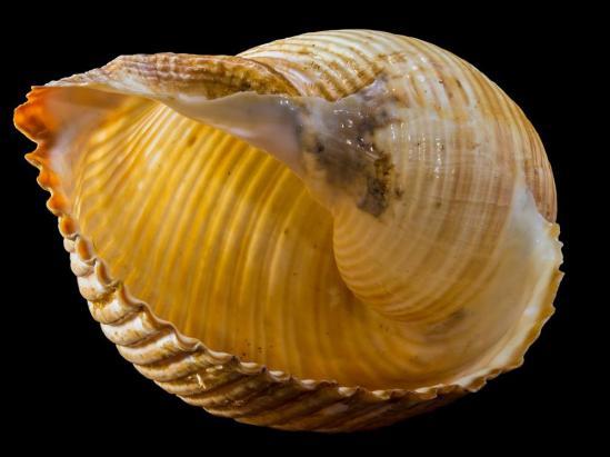 El caracol marino guarda un potente analgésico